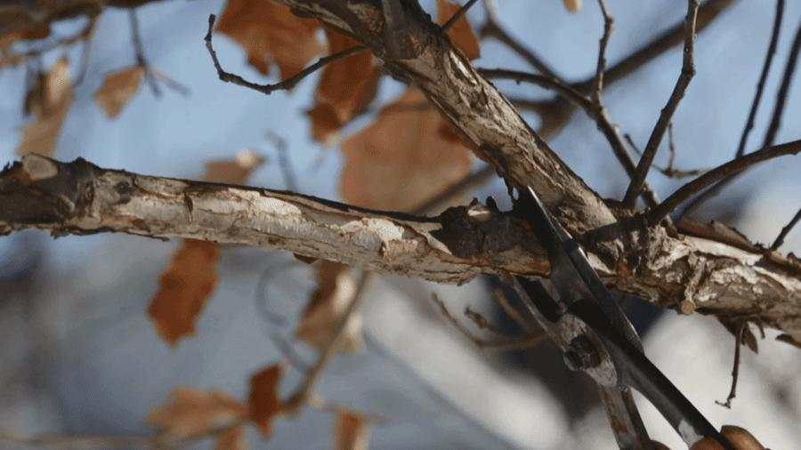 Dormant Season Structural Pruning: Its Benefit