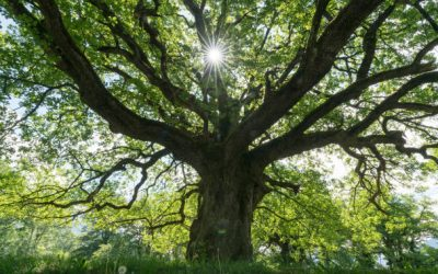 Tree Care Tips for the Tree of Life: Aging Trees
