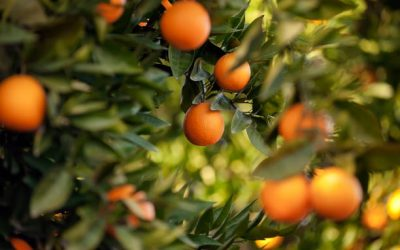 Fruit Trees to Grow in Containers