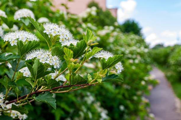 Why, How And When: Pruning Spring-Flowering Trees