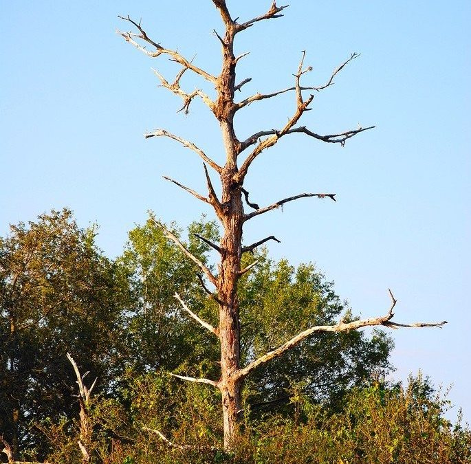 Why the Top of Your Tree is Dying And What to do?