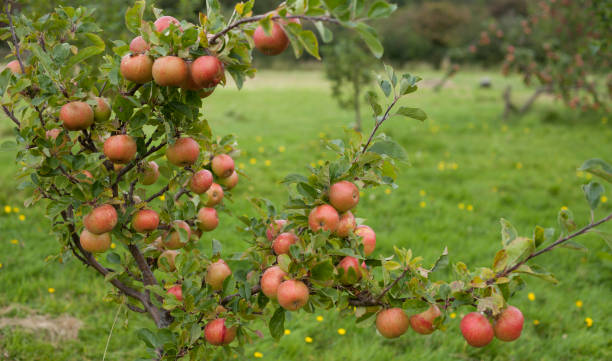 Tips on Pruning Dwarf Fruit Trees: Step By Step