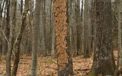 How To Protect Ash Trees And Control Emerald Ash Borers