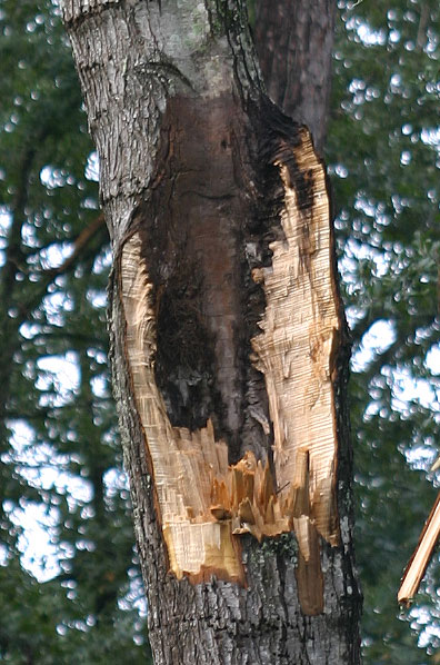 Understanding Included Bark and Its Impact on Trees