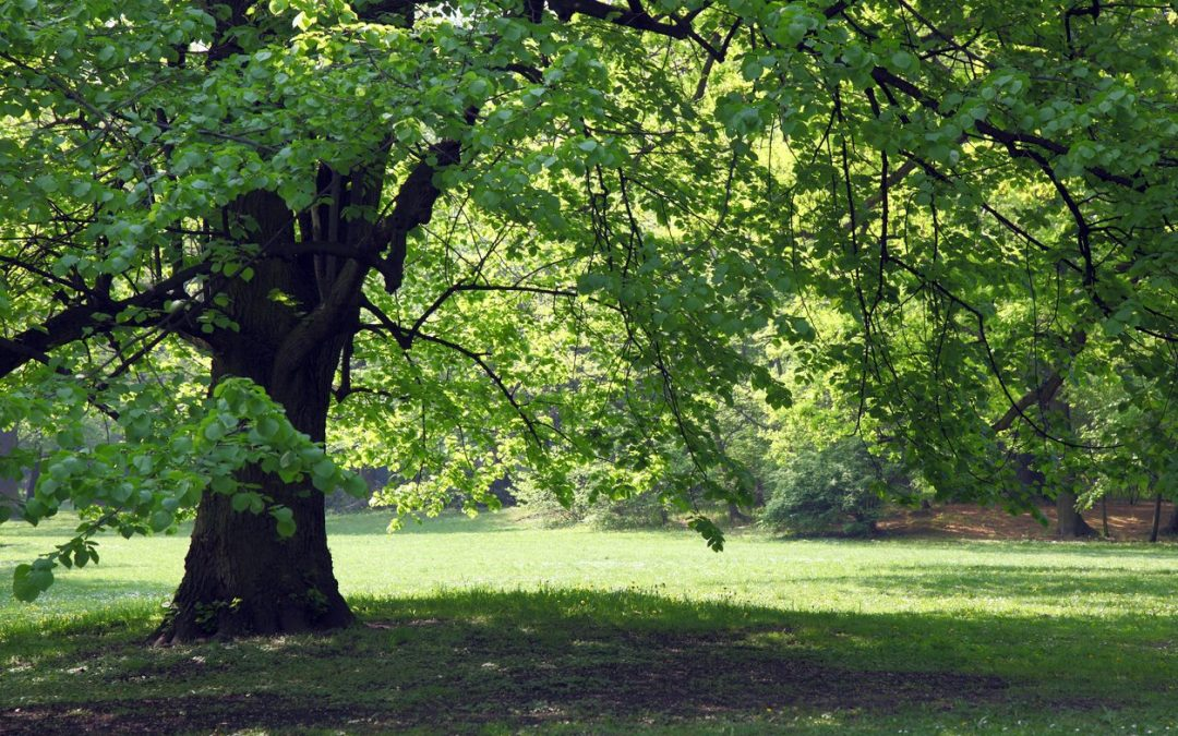 Best Growing Shade Trees to Keep You Cool in Summer